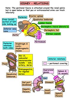 Instant Anatomy - Abdomen - Areas/Organs - Urinary tract - Kidneys Relationships