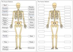 Human Skeleton Diagram Labelling Sheets | Free EYFS / KS1 Resources for Teachers
