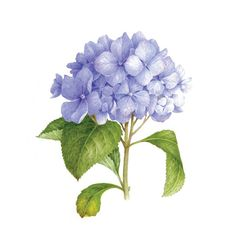 Blue Hydrangea (Scented)