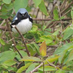 Black Throated Blue Warbler | World of Animal