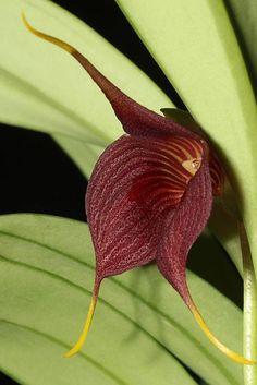 Masdevallia hercules Beautiful gorgeous pretty flowers