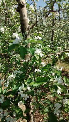 Fiorinda meli in fiore -  Mollaro Tn
