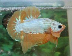 HMPK-FANCY-MARBLE-LIVE-BETTA-FISH-MALE