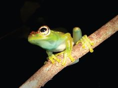 cb0405b4b97e4 Boophis ankarafensis  found in