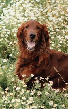 We really want an Irish Setter some day