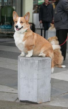 I'm posing for the artist currently carving my statue, natch. Just another day in a Corgi life.