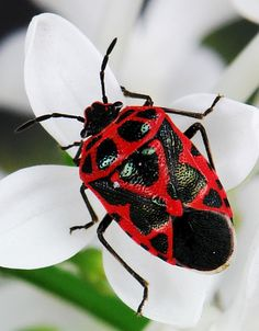 Scarlet Shield Bug (Eurydema dominulus) by itchydogimages Reptiles, Cool Insects, Bugs And Insects, Shield Bugs, Cool Bugs, A Bug's Life, Beetle Bug, Beautiful Bugs, Little Critter