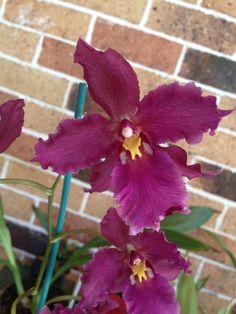 "Oncidium      Marguerite Holm "" Alpine ""       Love the Fragrance on this one."