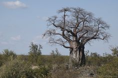 From baobab to Madagascar periwinkle or the tapia forest, Madagascar's endemic plants are truly breathtaking - here's everything you need to know. Baobab Tree, Silk Tree, Vascular Plant, Rare Species, Wild Orchid, Ornamental Plants, Plant Species, Growing Tree, Great Pictures