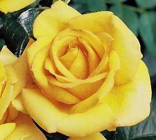 Roses #flowers learn how 2 #grow #rose http://www.growplants.org/growing/hybrid-tea-rose Buy Hotel California Hybrid Tea Rose