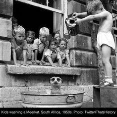 1950 washing a meerkat.