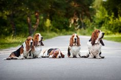 The 35 Most Basset-Hound Things To Happen In The History Of Basset Hounds