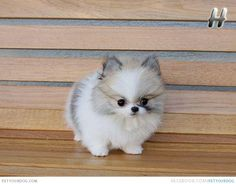 Pomeranian | Dog Pictures & Videos - Funny, Cute, Wacky or ...