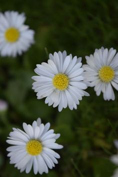 daisies (my photo please dont remove caption)Instagram |... daisies daisy flowers gardenmumbles