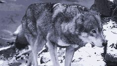 The great animal Dumont. Wolf and statue, great beast of blood and bone.