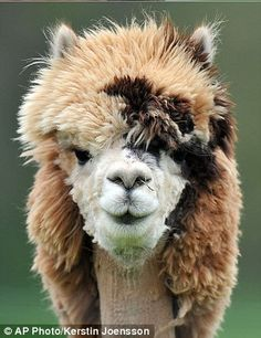 who doesn't love an Alpaca with a mullet?