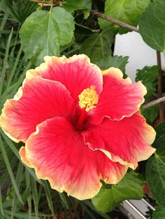 Red hibiscus with orange on the other side of the petal