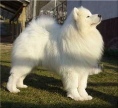 simoid dogs | ... Samoyed dogs mainly for sledge pulling. Samoyed dogs also participated