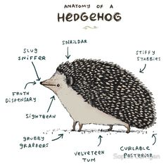 """""""Anatomy of a Hedgehog"""" art by Sophie Corrigan features a drawing of a cute hedgehog with words explaining its various body parts. Hedgehog Art, Cute Hedgehog, Pygmy Hedgehog, Hedgehog House, Hedgehog Cupcake, Hedgehog Tattoo, Hedgehog Drawing, Hedgehog Animal, Happy Hedgehog"""