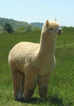 Alpaca (Vicugna pacos) is a domesticated species of South American camelid. It resembles a small llama in appearance. Alpacas are kept in herds that graze on the level heights of the Andes of southern Peru, northern Bolivia, Ecuador, and northern Chile at