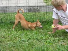 Penny is an adoptable Basenji Dog in Cincinnati, OH. This is Penny, she is a 8 month old, Whippet / Basenji mix. This little girl is 23 lbs. of pure gold energy. Happy, healthy, loves people and dogs....