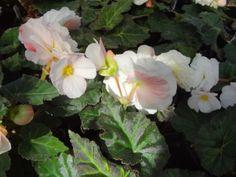 Begonia Nonstop 'Appleblossom'
