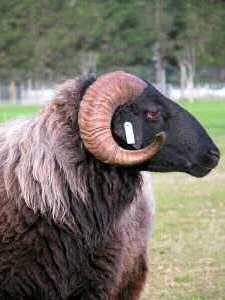 Karakul Sheep Breed