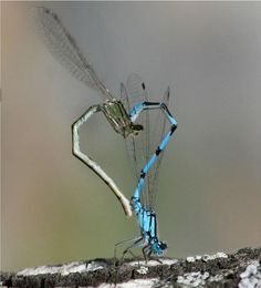 Dragonfly Love (dragonfly,mating,heart shape,nature,photography)
