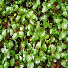 Partridgeberry Ground Cover
