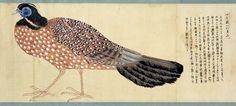 ATURAL HISTORY IN JAPAN:  Pheasants  Edo (江戸時代) a/k/a Tokugawa period (徳川時代) 1603 - 1868