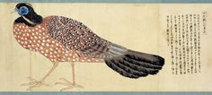ATURAL HISTORY IN JAPAN:  Pheasants  Edo (江戸時代) a/k/a Tokugawa period (徳川時代) 1603 - 1868