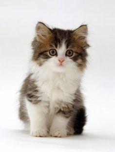 ♔ Cute little kitten.