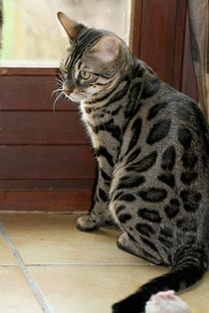 charcoal bengal cat #catbreeds - Know moreat - Catsincare.com!