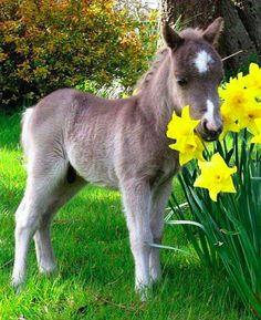 Oberon sniffs the daffodils at the Original Miniature Pony Centre near Moretonhampstead in Devon, England • photo: Apex on Mail Online