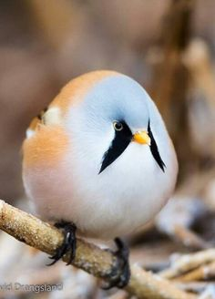 Bearded tit. Beautiful and makes me want to smile