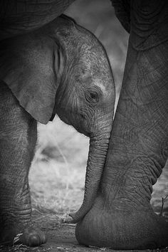 Photo Prints - An Elephant Calf Finds Shelter Amid Print by Michael Nichols Nature Animals, Baby Animals, Cute Animals, Wild Animals, Beautiful Creatures, Animals Beautiful, Baby Elefant, Photo Animaliere, Mama Photo