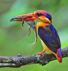 ☆☆by Ritesh Nangare~Oriental Dwarf Kingfisher.  fairy-wren.tumblr.com
