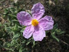 Flor de jara blanca. Flora silvestre. Antequera