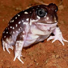 Spotted Burrowing Frog