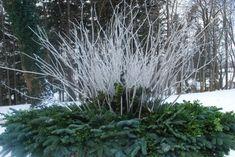 white-birch-branches-and-white manzanita.jpg