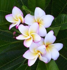 Plumeria Daisy Wilcox - Unrooted Cutting purchased today!