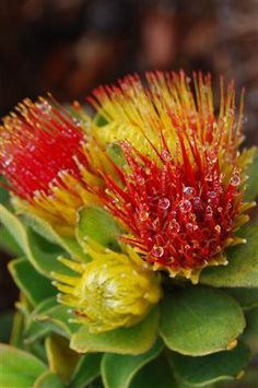 Pincushion flower with dew drops Cape Town by OrderFromChaosPhoto, $70.00