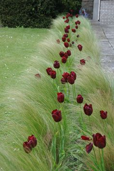 Stipa Tenuissima and Black Tulips in a modern contemporary garden. The solidarity and colour of the tulips really shows up the delicacy of the grass.