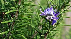 Rosemary Herb, Rosemary Tea, Rosemary Essential Oil - Nutritional And Health Benefits Rosemary Tea, Rosemary Plant, Rosemary Flower, Grow Rosemary, Repelir Mosquitos, Dog Friendly Plants, Types Of Herbs, Mosquito Repelling Plants, Garden Care