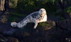 Harbour seal sunning itself.