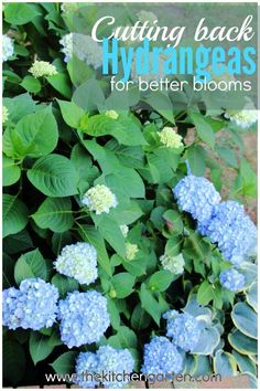 hydrangea garden care Cutting back your hydrangeas will create fuller blooms and foliage, and its so simple to do! Find out how. Pruning Hydrangeas, Hydrangea Bush, Hydrangea Care, Hydrangea Not Blooming, When To Prune Hydrangeas, Caring For Hydrangeas, How To Trim Hydrangeas, Garden Shrubs, Lawn And Garden