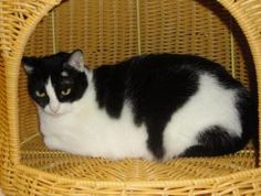 Winnie is an 8 year old black and white female.  She is declawed and likes to find a place in the corner. http://www.petfinder.com/petdetail/21506988