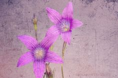 Purple violets flower photography - Wild Violets, floral art print, flower photo, violet blue, artistic home decor, wall art, rustic violets by OrnamentAndCrime on Etsy https://www.etsy.com/listing/400074273/purple-violets-flower-photography-wild