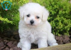 This Bichon puppy is a real spit-fire who is always ready to play! She is as adorable & loving as they come and you will be so happy to have her as Bichon Puppies For Sale, Cute Baby Puppies, Dogs For Sale, Bichon Frise, Baby Animals, Cute Animals, White Dogs, Maine Coon, Dog Training