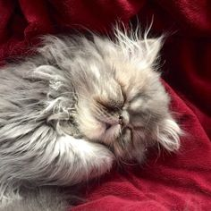 Persian Cats Colors - Beautiful Cats Breeds - - Bad Cats Logo - Grey Cats In Forest - Beautiful Kittens, Cute Cats And Kittens, Pretty Cats, Kittens Cutest, Bad Cats, Video Chat, Himalayan Cat, Gatos Cats, Persian Kittens